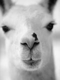 Close-Up of Alpaca's Nose Fotografisk tryk af Henry Horenstein