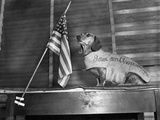 Dachshund Looking At American Flag Reproduction photographique par  Bettmann