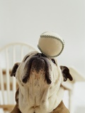 Bulldog Balancing Ball on Nose Photographic Print by Larry Williams