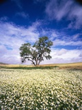 Oak Tree in Field of Daisies Fotografie-Druck von Craig Tuttle