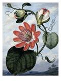The Winged Passion Flower Giclée-Druck von Sydenham Teast Edwards