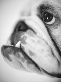 Face of a Bulldog Premium Photographic Print by Henry Horenstein