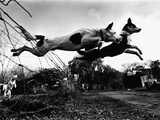 Dogs Leaping Over Wire Fence Photographic Print by Layne Kennedy
