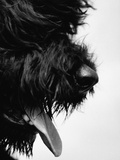Furry Dog Panting Premium Photographic Print by Henry Horenstein
