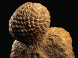 Fossilized Pine Cone Photographic Print by Layne Kennedy