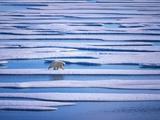 Polar Bear on Pack Ice Fotografisk tryk af Hans Strand