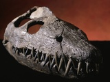 Fossil Crocodile Skull Photographic Print by Layne Kennedy