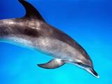 Atlantic Spotted Dolphin Fotografie-Druck von Bill Varie
