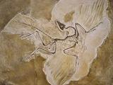 Archaeopteryx Lithographica Fossil Fotografie-Druck von Naturfoto Honal
