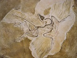 Archaeopteryx Lithographica Fossil Photographic Print by Naturfoto Honal