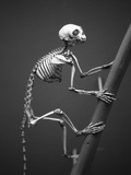 Primate Skeleton on Display Photographic Print by Henry Horenstein