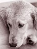 GoldRetriever Fotografie-Druck von Bill Varie