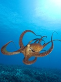 Octopus cyanea or Day Octopus Stretched Canvas Print by Stuart Westmorland