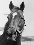 Man O' War Relaxing on His Farm Reproduction photographique par  Bettmann