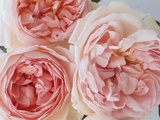 Sharifa Roses Photographic Print by Clay Perry