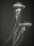Two Jellyfish Fotografie-Druck von Henry Horenstein