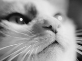 Close-up of Cat's Face Premium Photographic Print by Henry Horenstein
