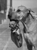 Great Dane Holding Chihuahua in Purse Reproduction photographique par  Bettmann