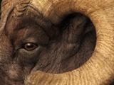 Head of American Bighorn Sheep Lámina fotográfica por Mary Ann McDonald