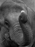 Mouse Balancing on Elephant's Trunk Lámina fotográfica por  Bettmann