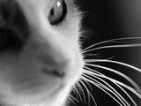Cat's Head Premium Photographic Print by Henry Horenstein