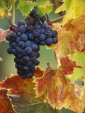 Grapes on a Vine Premium Photographic Print by John & Lisa Merrill