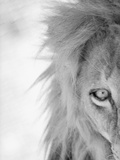 Half of Lion's Face Premium Photographic Print by Henry Horenstein