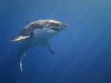 Shark in Open Water Photographic Print by Tim Davis