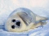 Harp Seal Pup on its Side Fotoprint van John Conrad