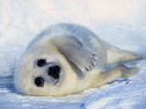 Harp Seal Pup on its Side Photographic Print by John Conrad