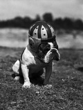 Dog Wearing Helmet on Football Field Reproduction photographique par  Bettmann