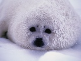 Harp Seal Pup with Snow on Fur Fotografie-Druck von John Conrad