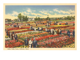 Tulip Farm, Holland, Michigan Posters