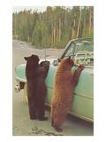 Bears Begging at Side of Car Plakater