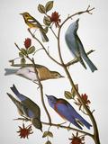 Audubon: Bluebirds Giclée-tryk af John James Audubon