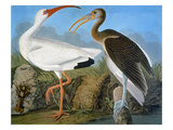 Audubon: Ibis Giclee Print by John James Audubon