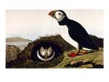 Audubon: Puffin, 1827-38 Giclee Print by John James Audubon