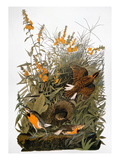 Audubon: Meadowlark Giclee Print by John James Audubon