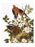Audubon: Dove Giclee Print by John James Audubon