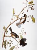 Audubon: Chickadee Giclée-tryk af John James Audubon