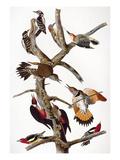 Audubon: Woodpeckers Giclee Print by John James Audubon