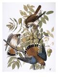 Audubon: Kestrel, 1827 Giclee Print by John James Audubon