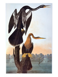 Audubon: Anhinga Giclee Print by John James Audubon