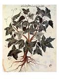 Grapevine, 1229 Giclee Print