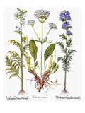 Valerian Flowers  1613