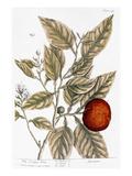 Orange Tree  1735