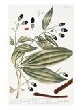 Malabar Cinnamon  1735