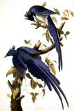 Columbia Jay, 1830, Giclee Print by John James Audubon