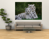 White Phase of the Bengal Tiger Plakater af Adam Jones