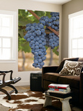 Close Up of Cabernet Sauvignon Grapes, Haras De Pirque Winery, Pirque, Maipo Valley, Chile Posters por Janis Miglavs